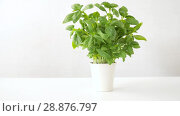 Купить «green basil herb in pot on table», видеоролик № 28876797, снято 17 июля 2018 г. (c) Syda Productions / Фотобанк Лори