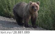 Купить «Камчатский бурый медведь», видеоролик № 28881089, снято 1 августа 2018 г. (c) А. А. Пирагис / Фотобанк Лори