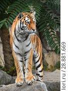 Close up front portrait of Siberian Amur tiger. Стоковое фото, фотограф Anton Eine / Фотобанк Лори