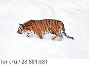 Siberian tiger walking in white winter snow. Стоковое фото, фотограф Anton Eine / Фотобанк Лори