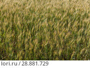 Купить «Background from ripe ears of barley in the field in the summer», фото № 28881729, снято 5 июля 2018 г. (c) Anatoly Timofeev / Фотобанк Лори