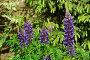 Купить «Люпин, или волчий боб (декоративные цветы)», эксклюзивное фото № 28881753, снято 26 мая 2016 г. (c) lana1501 / Фотобанк Лори