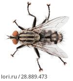 Купить «Top view of house fly isolated on white background», фото № 28889473, снято 4 августа 2018 г. (c) Роман Самохин / Фотобанк Лори