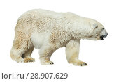 Polar bear on white background. Стоковое фото, фотограф Яков Филимонов / Фотобанк Лори