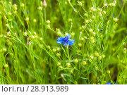 Купить «Василёк синий, или Василёк посевной (Centaurea cyanus) на поле льна (Linum usitatissimum)», фото № 28913989, снято 7 июля 2018 г. (c) Алёшина Оксана / Фотобанк Лори