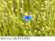 Купить «Василёк синий, или Василёк посевной (Centaurea cyanus) на поле льна (Linum usitatissimum)», фото № 28913993, снято 7 июля 2018 г. (c) Алёшина Оксана / Фотобанк Лори
