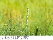Купить «Колос полбы (Triticum spelta) на поле», фото № 28913997, снято 7 июля 2018 г. (c) Алёшина Оксана / Фотобанк Лори