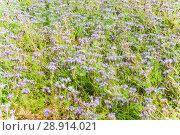 Купить «Фацелия пижмолистная, или рябинколистная, фиолетовая пижма (Phacelia tanacetifolia)», фото № 28914021, снято 7 июля 2018 г. (c) Алёшина Оксана / Фотобанк Лори