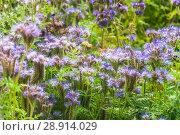 Купить «Фацелия пижмолистная, или рябинколистная, фиолетовая пижма (Phacelia tanacetifolia)», фото № 28914029, снято 7 июля 2018 г. (c) Алёшина Оксана / Фотобанк Лори