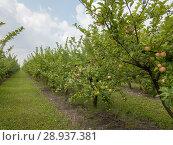 Купить «Farm apple orchard with organic fruits on the sky background», фото № 28937381, снято 19 июля 2018 г. (c) Ярослав Данильченко / Фотобанк Лори