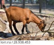 Купить «Cute African Pygmy Goat kid (Capra aegagrus hircus)», фото № 28938453, снято 18 июля 2018 г. (c) Валерия Попова / Фотобанк Лори