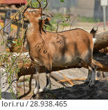 Купить «African Pygmy Goat kid (Capra aegagrus hircus) eats green twigs», фото № 28938465, снято 18 июля 2018 г. (c) Валерия Попова / Фотобанк Лори
