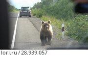 Купить «Вид из салона автомобиля на бурого медведя, просящего еду на дороге», видеоролик № 28939057, снято 4 августа 2018 г. (c) А. А. Пирагис / Фотобанк Лори