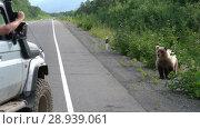 Купить «Мужчина фотографирует бурого медведя из окна внедорожника», видеоролик № 28939061, снято 14 августа 2018 г. (c) А. А. Пирагис / Фотобанк Лори