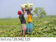 Купить «The Arial Beel (water body) of Munshiganj is famous for producing special kind of big-sized of sweet pumpkins, the local growers are making a huge profit...», фото № 28942125, снято 4 марта 2018 г. (c) age Fotostock / Фотобанк Лори