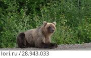 Купить «Бурый медведь попрошайничает на автомобильной дороге», видеоролик № 28943033, снято 4 августа 2018 г. (c) А. А. Пирагис / Фотобанк Лори
