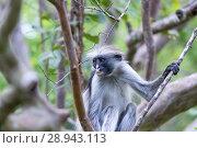 Купить «Red colobus Piliocolobus kirki monkey», фото № 28943113, снято 20 октября 2017 г. (c) Виталий Поздеев / Фотобанк Лори