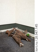 Купить «Sofia, Bulgaria, Broken Skulpur on the exhibition site for socialist monuments», фото № 28947145, снято 16 октября 2016 г. (c) Caro Photoagency / Фотобанк Лори