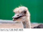 Купить «Ostrich head close-up», фото № 28947465, снято 27 июля 2018 г. (c) Катерина Белякина / Фотобанк Лори