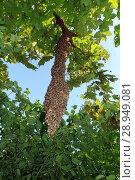 Купить «09.05.2016, Berlin, Skuriler bee swarm hanging on a tree in Lankwitz», фото № 28949081, снято 9 мая 2016 г. (c) Caro Photoagency / Фотобанк Лори
