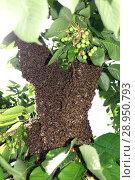 Купить «Berlin, Germany - Bee swarm hangs as a grape in a cherry tree», фото № 28950793, снято 22 мая 2016 г. (c) Caro Photoagency / Фотобанк Лори