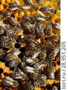 Купить «Berlin, Germany - Bee queen with white slip mark and working bees on a honeycomb», фото № 28951205, снято 28 марта 2017 г. (c) Caro Photoagency / Фотобанк Лори
