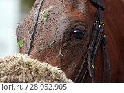 Купить «Hannover, Germany, the head of a horse is dirty smeared», фото № 28952905, снято 29 октября 2017 г. (c) Caro Photoagency / Фотобанк Лори