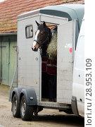 Купить «Neustadt (Dosse), horse looks out of a horse's harness», фото № 28953109, снято 12 января 2018 г. (c) Caro Photoagency / Фотобанк Лори