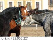 Neustadt (Dosse), horses pluck themselves at the halter (2018 год). Редакционное фото, агентство Caro Photoagency / Фотобанк Лори