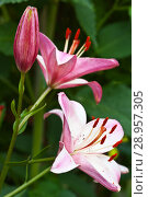 Купить «Beautiful pink lily in the garden in summer. Asian hybrid. Close-up view», фото № 28957305, снято 28 июля 2018 г. (c) Виктория Катьянова / Фотобанк Лори