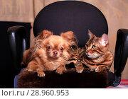 Собака породы чихуахуа и бенгальский кот сидят рядом в кресле. Друзья. Стоковое фото, фотограф Яна Королёва / Фотобанк Лори