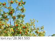 Купить «Ветви с гроздьями спелой рябины на фоне голубого неба солнечным летним днем», фото № 28961593, снято 11 августа 2018 г. (c) Екатерина Овсянникова / Фотобанк Лори