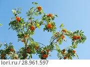 Купить «Ветви с гроздьями рябины на фоне голубого неба в солнечный день», фото № 28961597, снято 11 августа 2018 г. (c) Екатерина Овсянникова / Фотобанк Лори