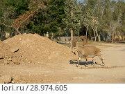 Купить «Nubian ibex (Capra nubiana) in Sde Boker, kibbutz in Negev desert of southern Israel», фото № 28974605, снято 30 июля 2018 г. (c) Валерия Попова / Фотобанк Лори