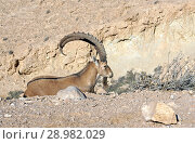 Купить «Nubian ibex (Capra nubiana sinaitica)  in Sde Boker. Old male lies among rocks. Negev desert of southern Israel», фото № 28982029, снято 12 августа 2018 г. (c) Валерия Попова / Фотобанк Лори