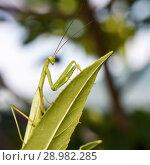 Купить «Зелённый богомол сидит на листке», эксклюзивное фото № 28982285, снято 10 августа 2018 г. (c) Игорь Низов / Фотобанк Лори