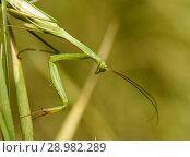 Купить «Зелённый богомол сидит на траве», эксклюзивное фото № 28982289, снято 10 августа 2018 г. (c) Игорь Низов / Фотобанк Лори