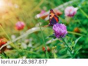 Купить «Butterfly sits on a clover flower», фото № 28987817, снято 19 августа 2018 г. (c) Дмитрий Бачтуб / Фотобанк Лори