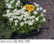 Купить «Flower pot with Edelweiss on the market», фото № 28992185, снято 7 июля 2018 г. (c) Юлия Кузнецова / Фотобанк Лори