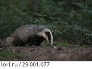 Купить «Wild European Badger (Meles meles) / Europäischer Dachs searching for food in natural habitat..», фото № 29001077, снято 18 июня 2014 г. (c) age Fotostock / Фотобанк Лори
