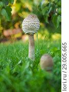 Купить «Гриб-зонтик пёстрый (Лат. Macrolepiota procera) вырос в саду», фото № 29005665, снято 27 августа 2018 г. (c) Александр Романов / Фотобанк Лори