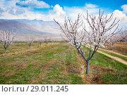 Купить «Apricot farm during sping season against Vayk mountain range, Vayots Dzor Province, Armenia», фото № 29011245, снято 16 марта 2018 г. (c) Papoyan Irina / Фотобанк Лори