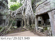 Купить «Tree roots cover much of the ruins of Ta Prohm temple in Angkor Wat, Siem Reap, Cambodia. Ta Prohm is the modern name of the temple at Angkor, Siem Reap...», фото № 29021949, снято 22 июля 2018 г. (c) age Fotostock / Фотобанк Лори