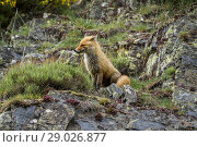 Купить «Red fox (Vulpes vulpes) in natural setting. Picos de Europa natural park, Spain.», фото № 29026877, снято 4 июня 2018 г. (c) age Fotostock / Фотобанк Лори