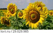 Купить «Sunflower flowers on sunny day», видеоролик № 29029985, снято 13 июля 2018 г. (c) Володина Ольга / Фотобанк Лори