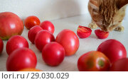 Купить «Red cat is eating ripe tomatoes», видеоролик № 29030029, снято 10 августа 2018 г. (c) Володина Ольга / Фотобанк Лори