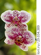 Купить «Orchid. Phalaenopsis.», фото № 29034389, снято 21 июля 2018 г. (c) easy Fotostock / Фотобанк Лори