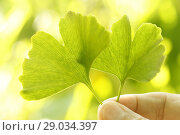 Купить «Leaves of Ginkgo biloba.», фото № 29034397, снято 20 августа 2018 г. (c) easy Fotostock / Фотобанк Лори