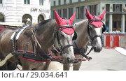 Купить «Traditional horse coach Fiaker in Vienna Austria», видеоролик № 29034641, снято 28 июля 2018 г. (c) Дмитрий Травников / Фотобанк Лори