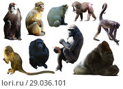 Купить «primates isolated on white», фото № 29036101, снято 23 апреля 2019 г. (c) Яков Филимонов / Фотобанк Лори